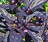 Chilli Black Pearl - Chili schwarze Perle - 5 Samen