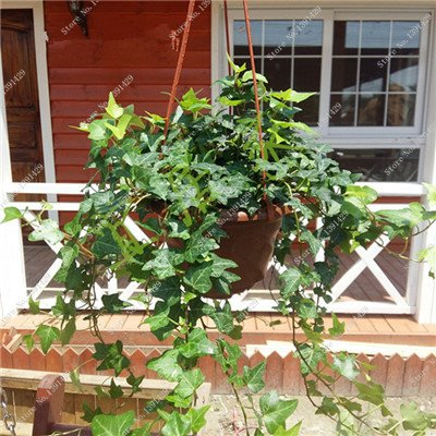 Multi Color Seed 100% Vrai Parthenocissus tricuspidata Seed, japonais Creeper Flowerpot Seed Pack Professionnel 20 Pcs / Sac 4