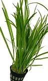Vallisneria americana gigantea - Riesen-Vallisnerie, Aquarienpflanzen, Wasserpflanzen
