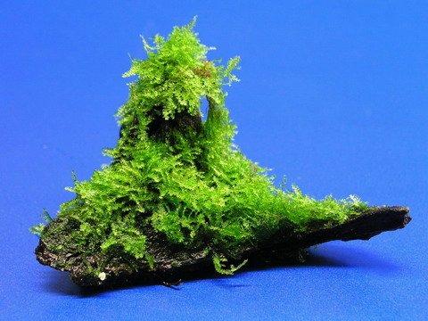 Wurzel mit Christmas-Moos / Vesicularia montagnei