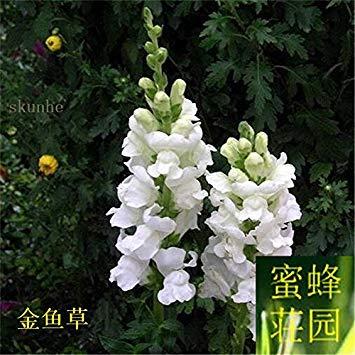 VISTARIC 7: 100 Pcs vrai Cactus Seeds, Mini Cactus, Figuier, Succulentes japonais Graines Bonsai Fleur, Plante en pot pour jardin 7