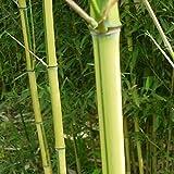 Yukio Samenhaus - China Exotic Samen Moso Bambus (Riesenbambus) Phyllostachys edulis winterhart