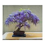 10 Stücke Bonsai Samen Mini Glyzinie Baum Samen Wisteria für Indoor Garten Balkon Pflanzen, Lila