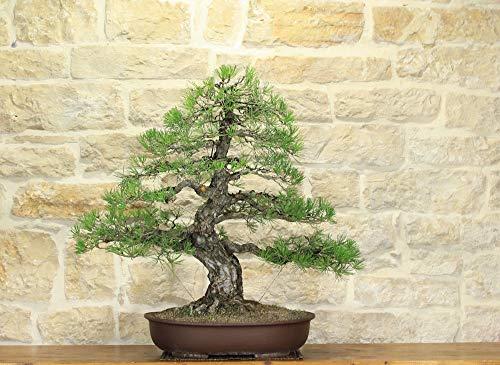 bonsai di pino nero thunbergii (15)