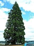 GEOPONICS 100: USA cimelio organici ucraino Brunte Pomodoro 25-200 (2 libbre)