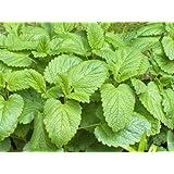 LEMON BALM -Melissa officinalis - Herb garden 500 SEEDS