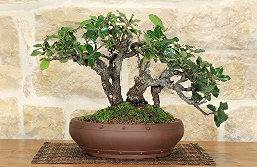 bonsai di quercia - leccio (45)