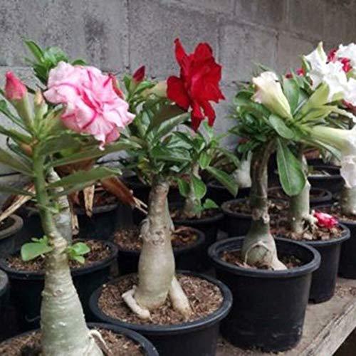 luo-401xx semi di fiori di rosa del deserto adenium 200pcs, bellissimo bonsai perenne facile da coltivare per la decorazione del cortile del giardino di casa desert rose seeds
