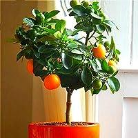 Semillas de Limón 10/20/50pcs Semillas Frutas para Jardín Huerto (10 pcs)