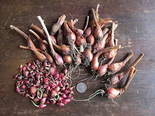 GEOPONICS 100 Top Bulbls: Egyptian Walking Onions, Mature Bulbs and Top Bulbls ~ Organic ~ Heirloom
