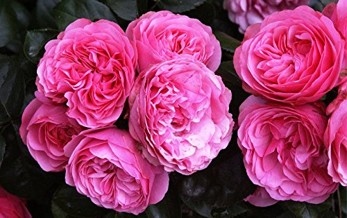 Rose Leonardo da Vinci ® Wurzelware / Qualität A - floranza®