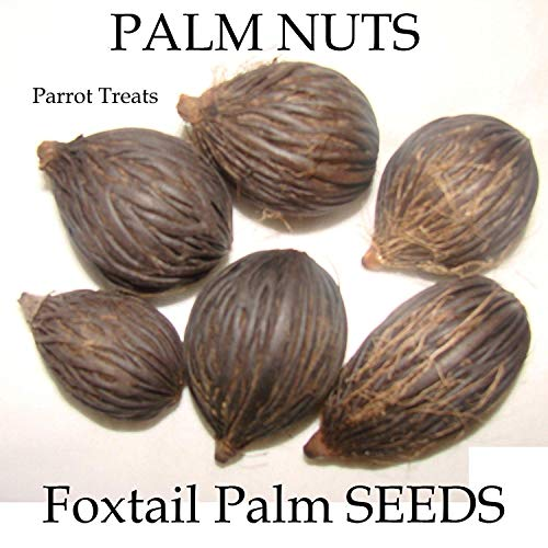 PLAT FIRM ~ Ara Treat ~ Palm Nuss Wodyetia bifurcata 12 Big Freh Samen Bio Parrot
