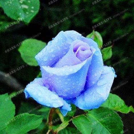100 particules rares Bleu Rosa chinensis Belle Graines de fleurs Graines de fleurs Rose Arbuste parfum du thé Balcon Bonsai Jardin des Plantes 4