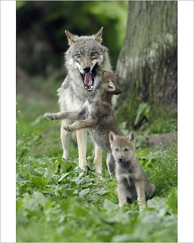 photographic-print-of-european-grey-wolf-cub-begging-for-food-from-female
