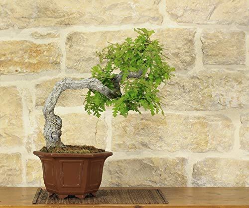 bonsai di quercia roverella (9)