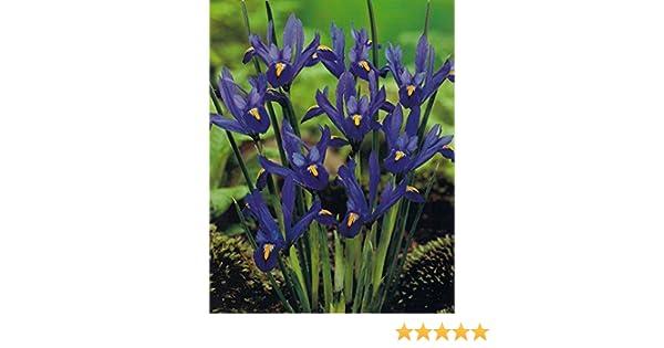 Iris Reticulata Alida Zwergiris 50 Blumenzwiebeln