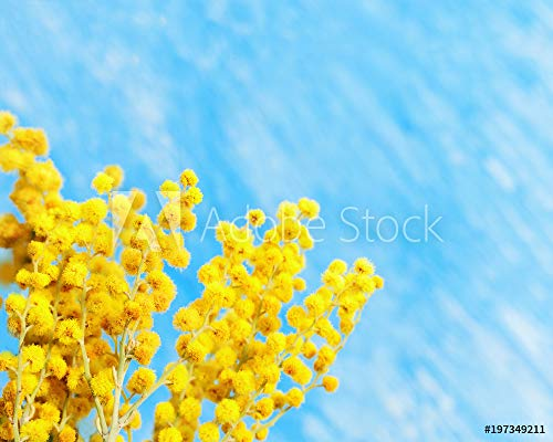 Wunschmotiv: Blooming Mimosa spring flowers on blue background. Branch of yellow mimosa close up with copy space. Selective focus. #197349211 - Bild als Klebe-Folie - 3:2 - 60 x 40 cm / 40 x 60 cm - Mimosa Branch
