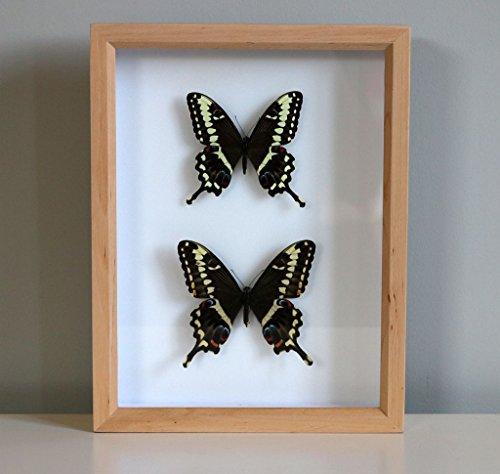 """The African imperatore """", con immagine di farfalla papillonidae Papilio ophidicephalus subsp. phalusco coppia), 30 cm X 26 cm X 6 cm/allevati in cattività, Pinned Entomology, serie"""" museo di storia naturale """", confezione regalo"""