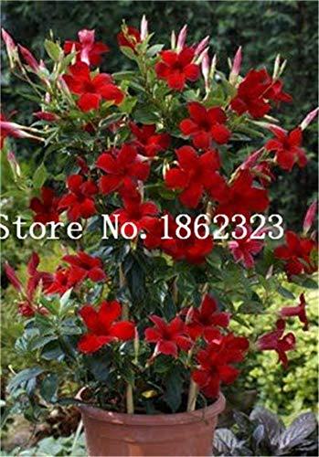 Bloom Green Co. 50 pcs/sac rare Escalade Fleur de Jasmin Bonsai couleur Jasmine Bonsai Fragrant plante arabe Jasmine Graine Bonsai Plante jardin: 12
