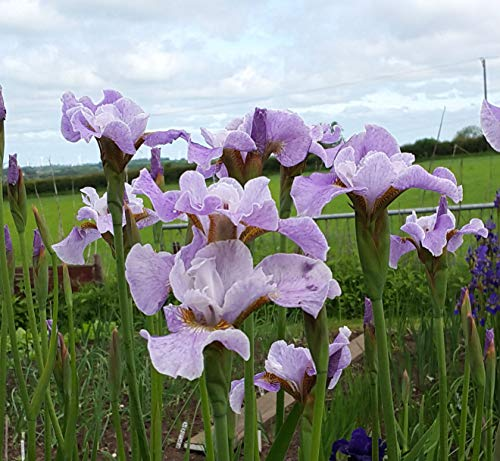 Portal Cool Iris Sibirica - lavanda paisaje -Siberian Iris - The Manic Botanic