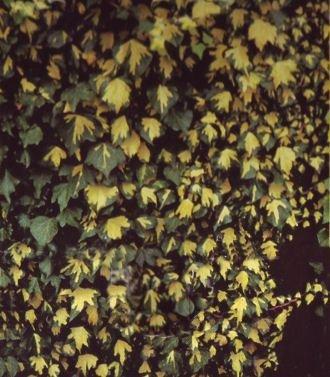 Gelbbunter Efeu 'Goldheart' - Hedera helix 'Goldheart' 40-60 cm, 4-6 Triebe gestäbt von Gartengruen24 auf Du und dein Garten