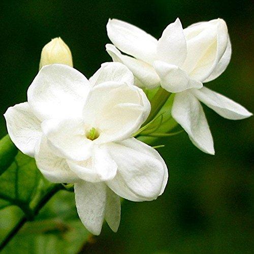mint grün Rose Samen Garten Jasmin Flower Plant Seeds, Jasmine Seeds, Einheitsgröße ()