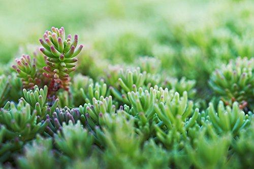 Grüne Tripmadam - Sedum reflexum 50 Samen