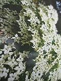 Cornus kousa Nicole - Japanischer Blumenhartriegel Nicole - Hartriegel