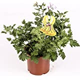 Citronella - Planta antimosquitos - Maceta 15cm. - Pelargonium Citrodorum/Graveolens - Planta Aromática - Planta viva - (Enví