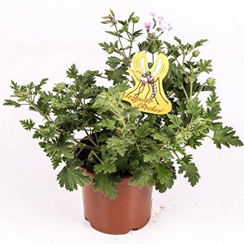 Citronella - Planta antimosquitos - Maceta 15cm. - Pelargonium Citrodorum/Graveolens - Planta Aromática - Planta viva - (Envíos sólo a Península)
