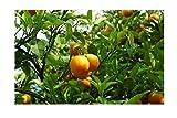 Mandarine Citrus reticulata Mandarinenbaum Pflanze 5-10cm Obstbaum Obstpflanze
