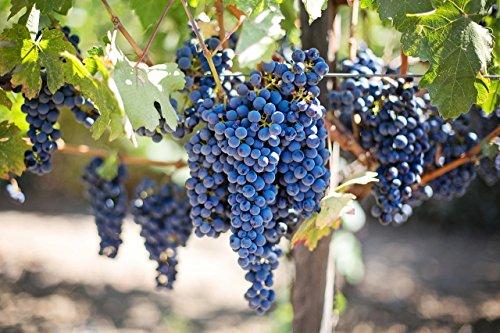Amurrebe 5 Samen (Vitis amurensis) Weinrebe, Weintraube (Grape Amur)