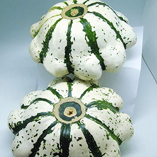 AGROBITS 8Pcs Jade Teller Kürbiskerne Moschus-Kürbis Originalverpackung Melons Seed -
