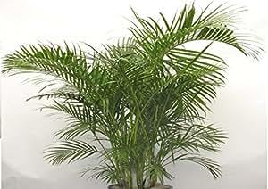 Buy Nelsea Gardening Live Areca Palm Plant in Pot For Indoor ...