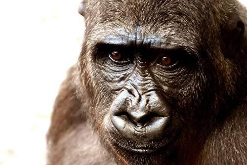LOOKUR Haarige Gorilla AFFE DIY Malen Nach Zahlen Digitales Ölgemälde Wohnkultur Geschenke Wandkunst 40X99Cm-Mit Rahmen