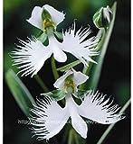 50Japanischer diademseeigel Samen White Egret Orchidee Samen World 's seltene Orchidee Tierart weiß Blumen Orchidee Garden & Home Bepflanzen