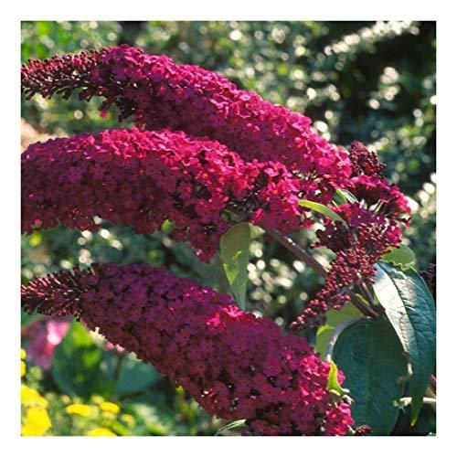 Buddleja davidii Royal Red - Buddleia Butterfly Bush