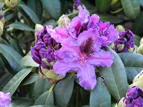 Rhododendron Hybride 'Azurro' - Im 5 lt. Topf, Höhe ca. 30-40cm