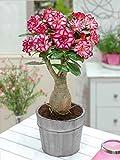 #8: Desert Rose Adenium Live Plant (GRAFTED - LIVE PLANT) - BEE Garden Organic