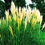Pinkdose 500 PC/bag New Rare Beeindruckend Lila, Rot, Gelb Pampas-Gras Bonsai Terrasse und Garten Topf Zierpflanzen New Blumen: Weiß
