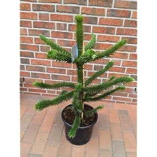 Araucaria araucana, Höhe: 110-120 cm, Affenbaum, Affenschaukel, Andentanne, winterharte Pflanze ! + Dünger