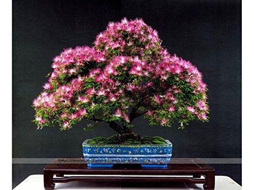 Bonsaï Albizia de seeds.rare fleurs graines dans bonsaïs, 30 graines / pack rose couverte Albizia julibrissin pour Home Garden