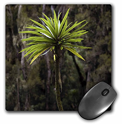 Danita Delimont - Forests - Giant Lobelia, Heather Forest, Rwenzori, East Africa - AF48 MZW0060 - Martin Zwick - MousePad (mp_132144_1) (Forest Heather)