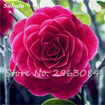 5 pièces rares Graines arc-en-Camellia fleurs, plantes en pot de bricolage, Lumière Parfumée Fleur intérieur, intérieur Bonsai planter des fleurs Semences 19