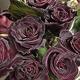 Portal Cool 30 Black Baccara Hybrid Seltene Rosen-Samen, Exotische True Blood Rose Blumensamen
