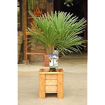 trachycarpus fortunei ca 160 cm frostharte hanfpalme bis. Black Bedroom Furniture Sets. Home Design Ideas
