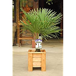 winterharte Palme Hanfpalme -18 °C trachycarpus fortunei palmen. (Gesamthöhe 40-60 cm)