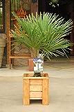 winterharte Palme Hanfpalme -18 °C trachycarpus