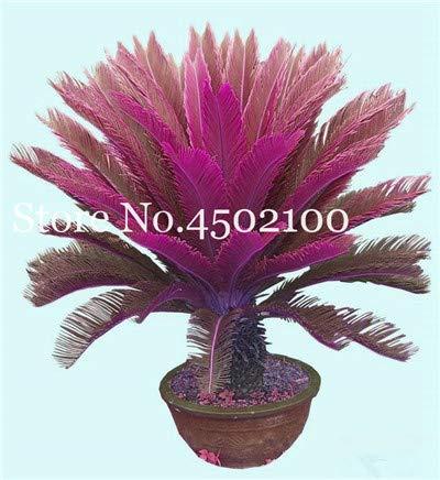 bloom green co. 5 pz blu cycas bonsai, sago palma plant, cycas albero, pianta in vaso rare per la casa giardino popolare paesaggio pianta facile da coltivare: 10