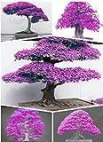 50 Samen / Packung 100% Echte japanische Lila Maple Bonsai-Baum Günstige Samen Sehr schöne seltene Bonsaipflanzen Baum Freies Verschiffen